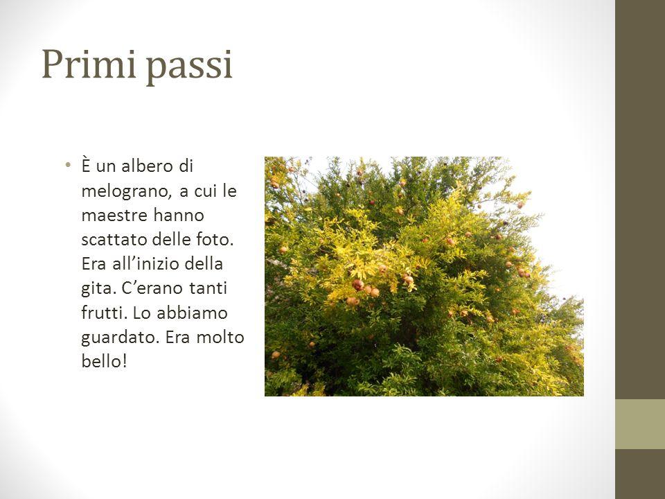Primi passi È un albero di melograno, a cui le maestre hanno scattato delle foto. Era allinizio della gita. Cerano tanti frutti. Lo abbiamo guardato.