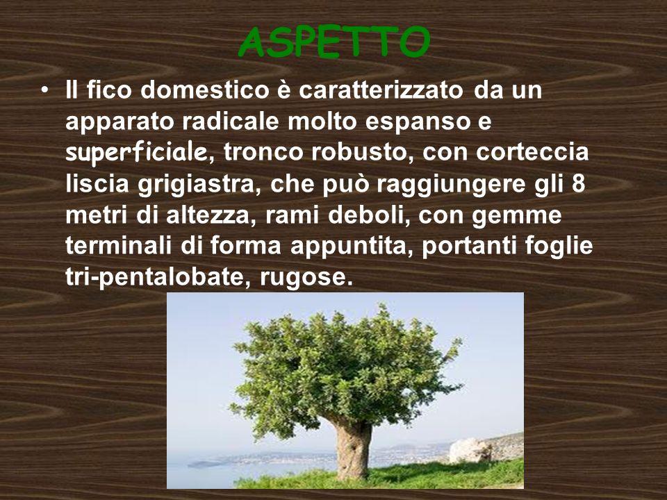 DISTRIBUZIONE In Italia è presente soprattutto nelle regioni meridionali e lungo le coste, ma è presente anche al nord, portato dalluomo.