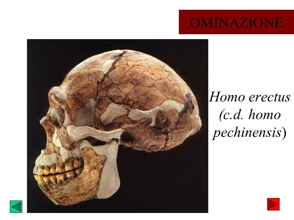 Homo erectus (c.d. homo pechinensis) OMINAZIONE