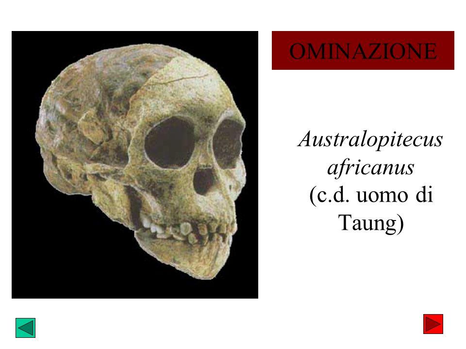 Australopitecus africanus (c.d. uomo di Taung) OMINAZIONE