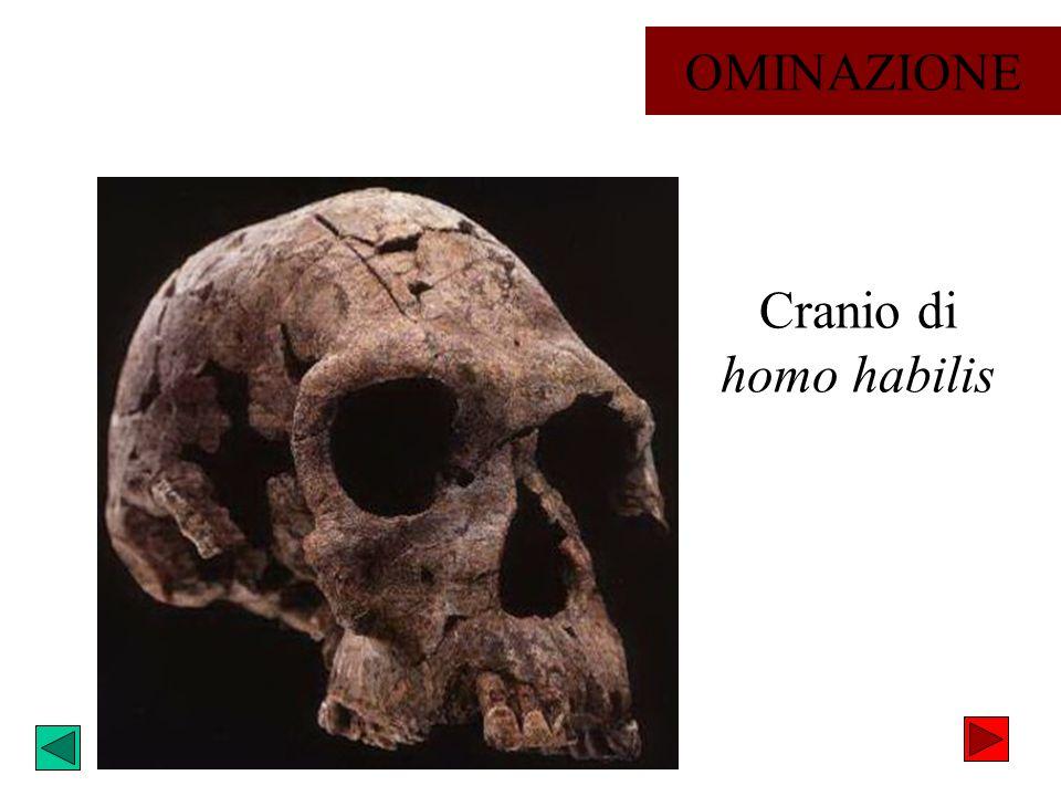 Cranio di homo habilis OMINAZIONE