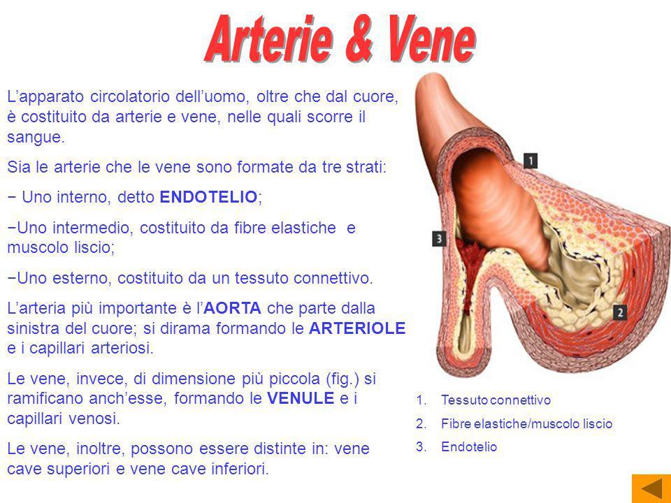 Lapparato circolatorio delluomo, oltre che dal cuore, è costituito da arterie e vene, nelle quali scorre il sangue.