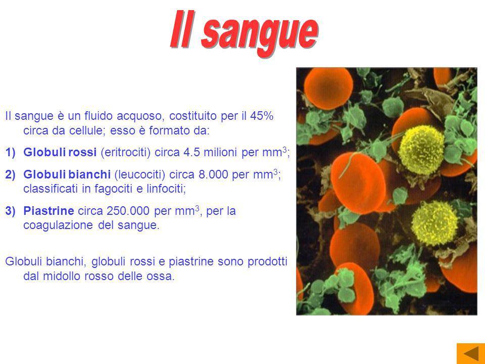 Il sangue è un fluido acquoso, costituito per il 45% circa da cellule; esso è formato da: 1)Globuli rossi (eritrociti) circa 4.5 milioni per mm 3 ; 2)Globuli bianchi (leucociti) circa 8.000 per mm 3 ; classificati in fagociti e linfociti; 3)Piastrine circa 250.000 per mm 3, per la coagulazione del sangue.