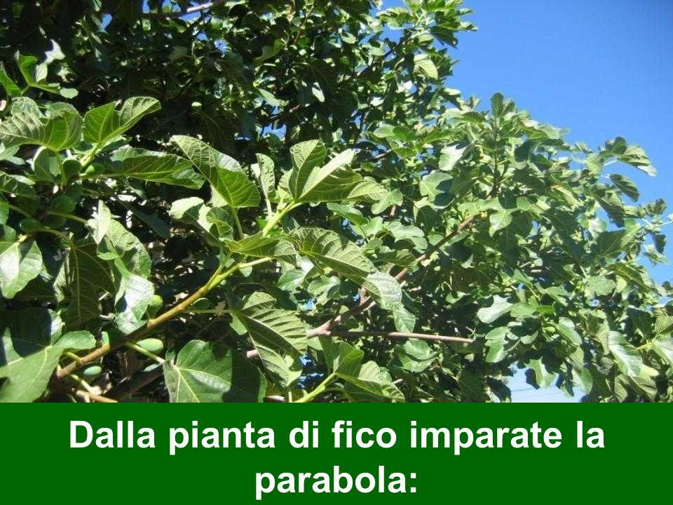 Dalla pianta di fico imparate la parabola: