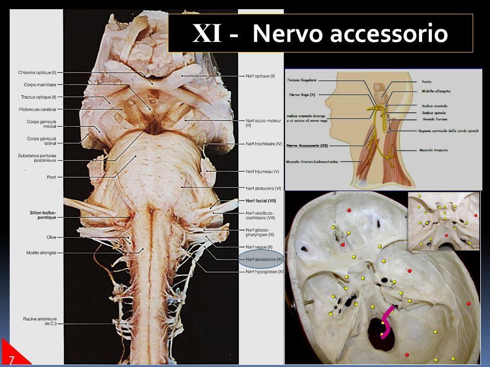 XI - Nervo accessorio 7