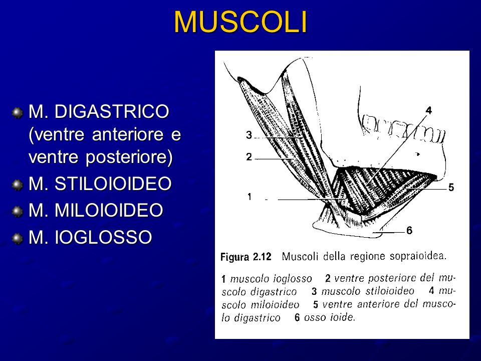 MUSCOLI M.DIGASTRICO (ventre anteriore e ventre posteriore) M.