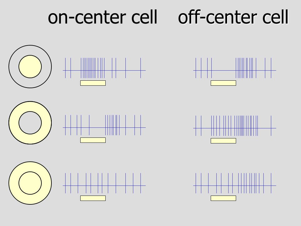 on-center cell off-center cell