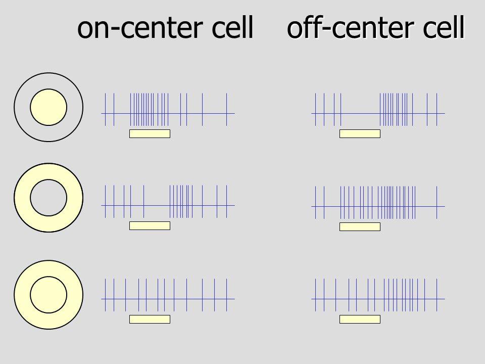 off-center bipolar cell on-center bipolar cell cone glutamate +