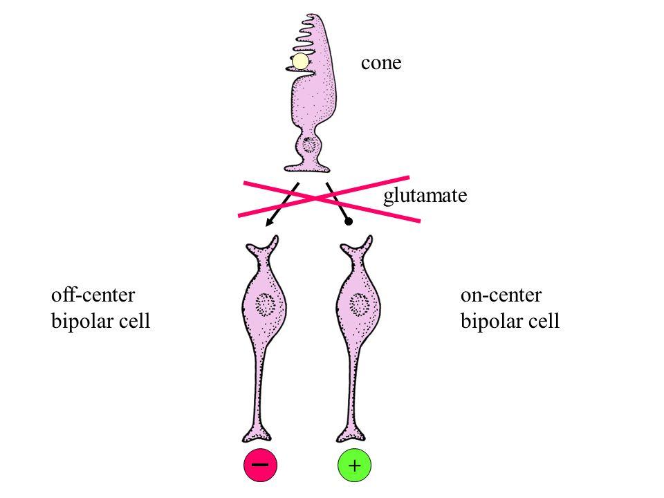 on-center bipolar cells cones +