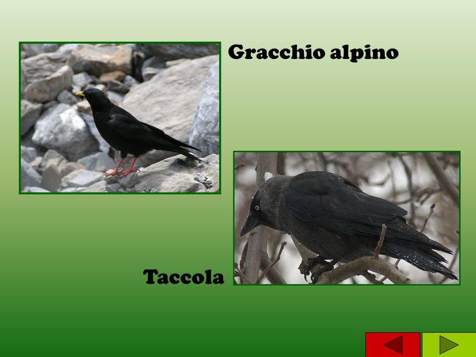 Taccola Gracchio alpino