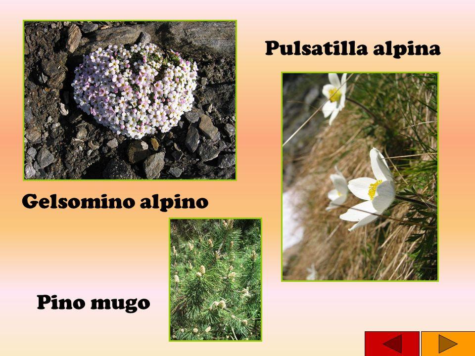 Gelsomino alpino Pino mugo Pulsatilla alpina
