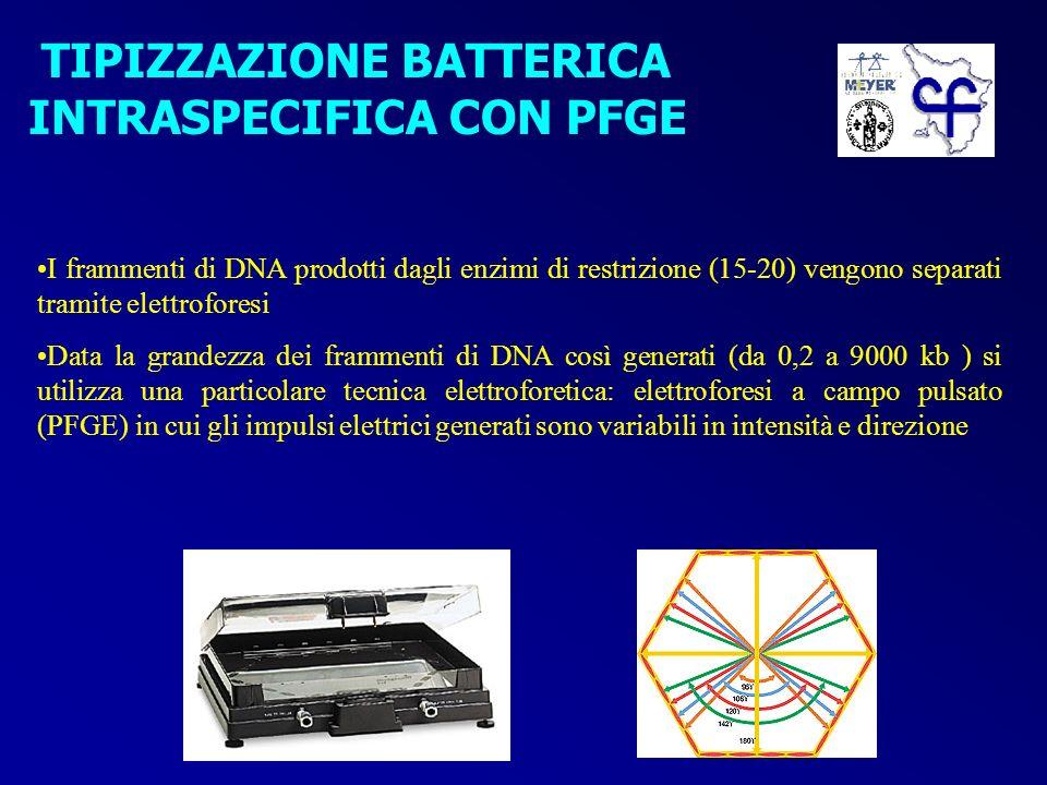 TIPIZZAZIONE BATTERICA INTRASPECIFICA CON PFGE I frammenti di DNA prodotti dagli enzimi di restrizione (15-20) vengono separati tramite elettroforesi