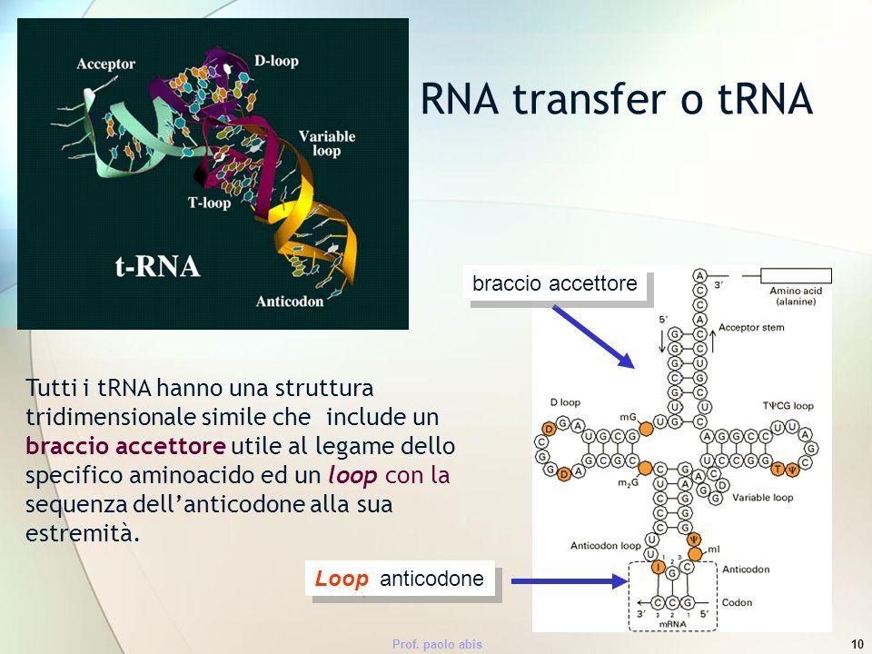 Prof. paolo abis10 Tutti i tRNA hanno una struttura tridimensionale simile che include un braccio accettore utile al legame dello specifico aminoacido