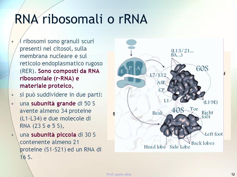 Prof. paolo abis12 RNA ribosomali o rRNA I ribosomi sono granuli scuri presenti nel citosol, sulla membrana nucleare e sul reticolo endoplasmatico rug