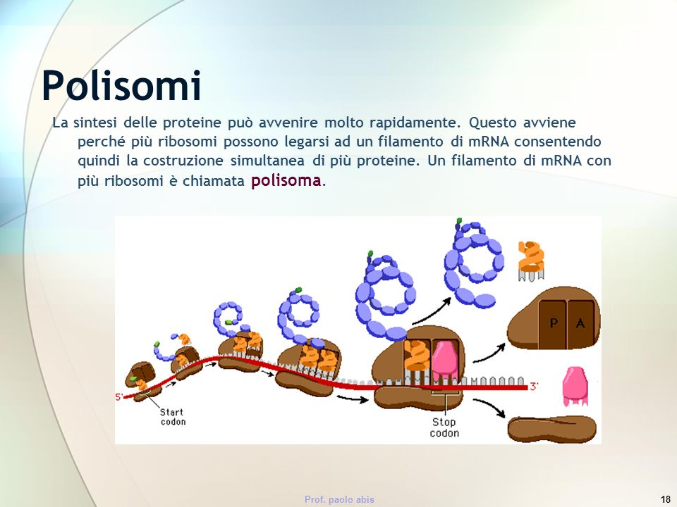 Prof. paolo abis18 Polisomi La sintesi delle proteine può avvenire molto rapidamente. Questo avviene perché più ribosomi possono legarsi ad un filamen