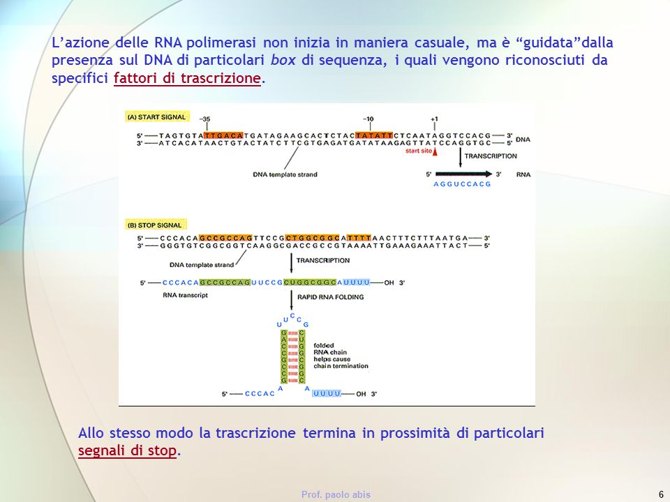 Prof. paolo abis6 Lazione delle RNA polimerasi non inizia in maniera casuale, ma è guidatadalla presenza sul DNA di particolari box di sequenza, i qua