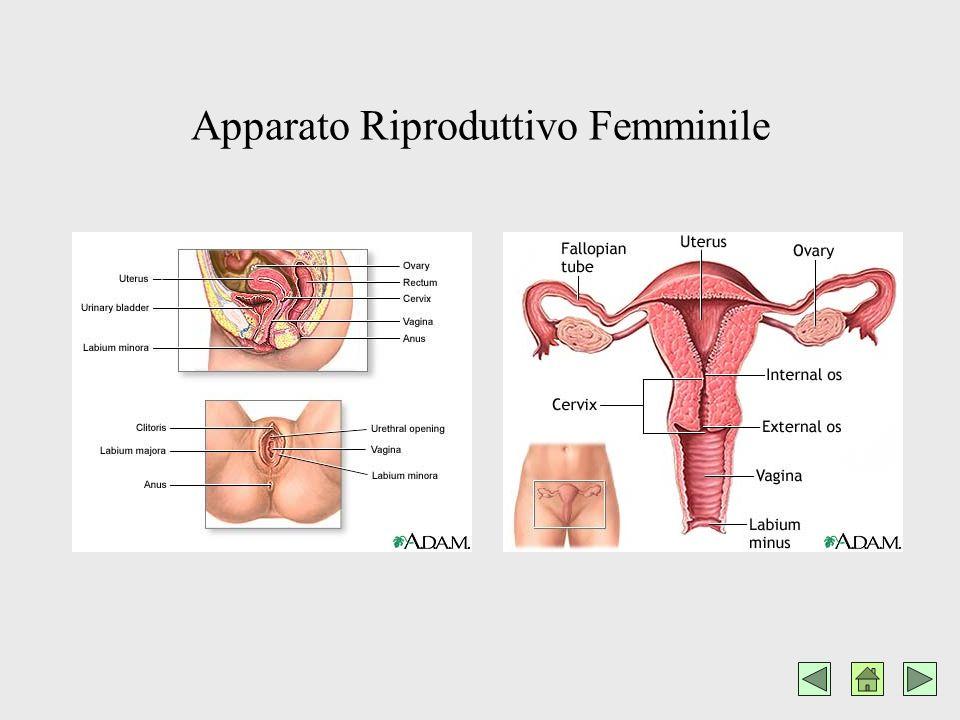 INTRODUZIONE Questa ricerca ha lo scopo di fornire agli studenti una panoramica generale ed orientativa sui contraccettivi Seguono alcune immagini inerenti gli Apparati Riproduttivi Umani