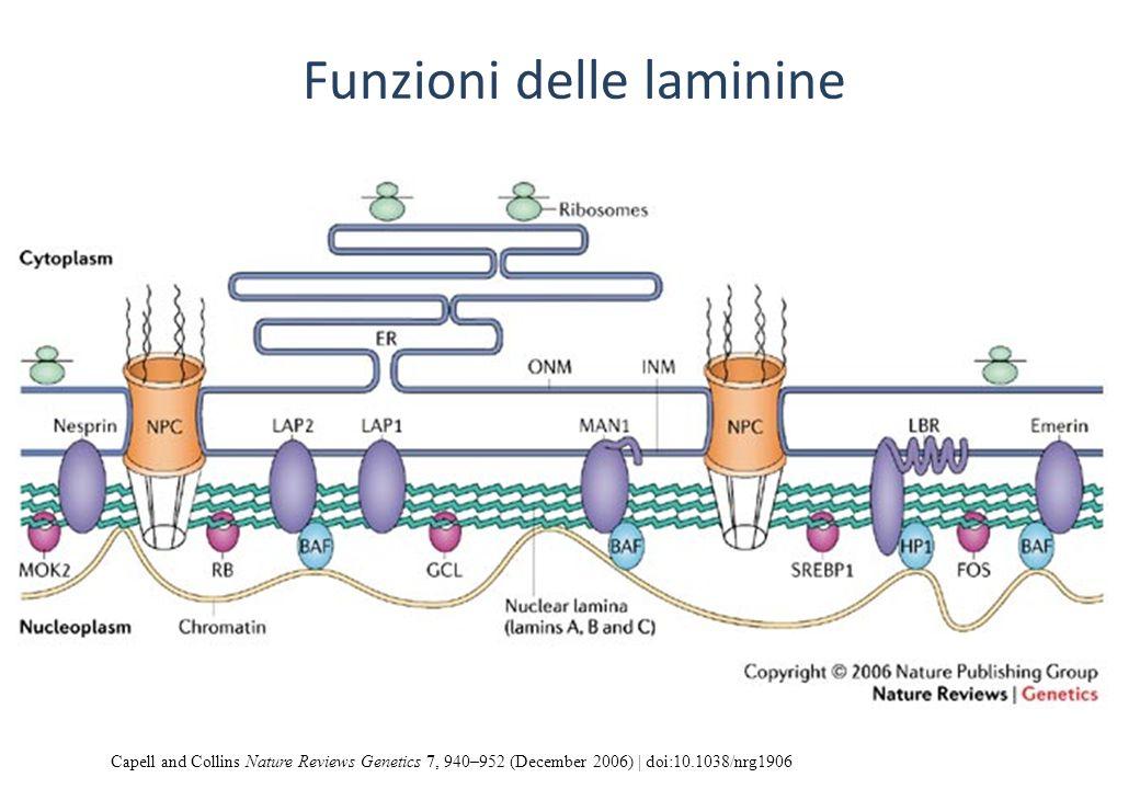 Funzioni delle laminine Capell and Collins Nature Reviews Genetics 7, 940–952 (December 2006) | doi:10.1038/nrg1906