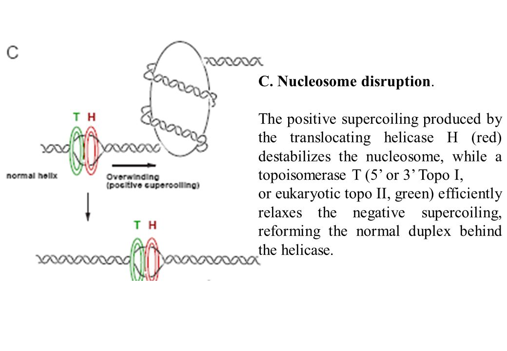 C. Nucleosome disruption. The positive supercoiling produced by the translocating helicase H (red) destabilizes the nucleosome, while a topoisomerase