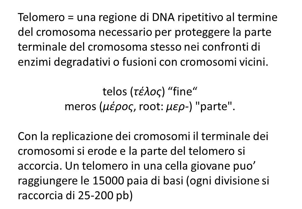 Telomero = una regione di DNA ripetitivo al termine del cromosoma necessario per proteggere la parte terminale del cromosoma stesso nei confronti di enzimi degradativi o fusioni con cromosomi vicini.