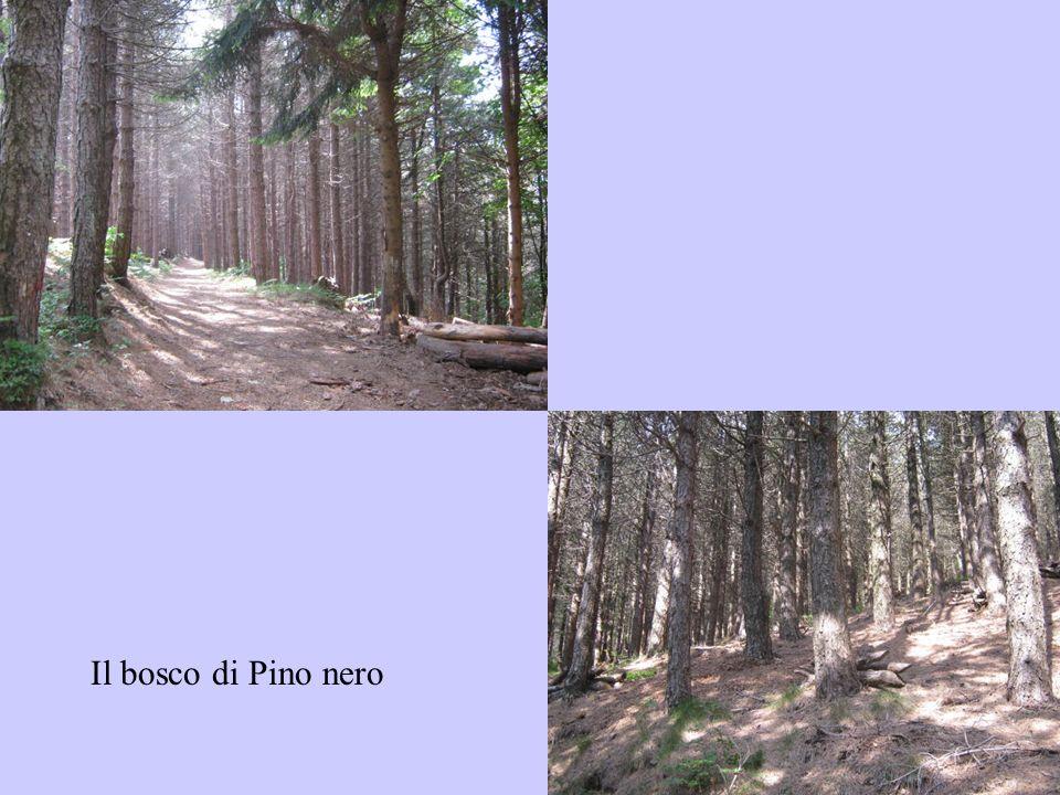Il bosco di Pino nero