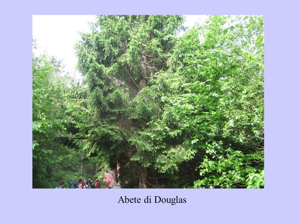 Abete di Douglas
