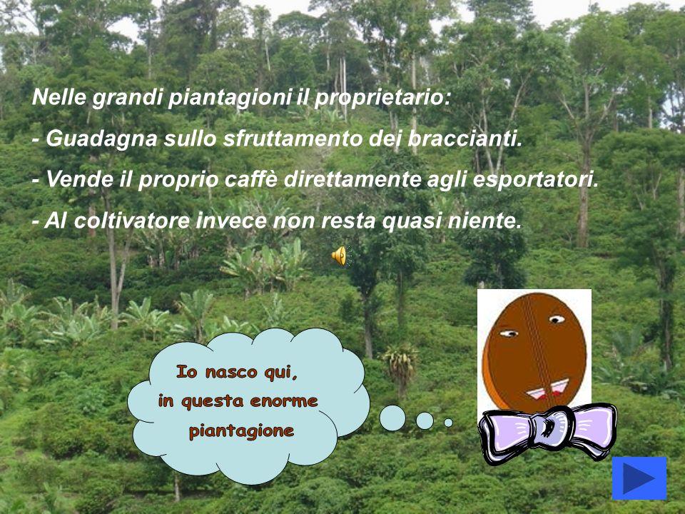 Nelle grandi piantagioni il proprietario: - Guadagna sullo sfruttamento dei braccianti. - Vende il proprio caffè direttamente agli esportatori. - Al c