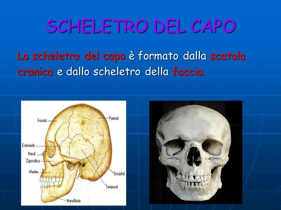 SCHELETRO DEL CAPO Lo scheletro del capo è formato dalla scatola cranica e dallo scheletro della faccia.