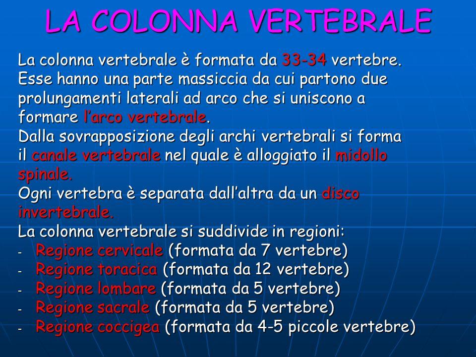 LA COLONNA VERTEBRALE La colonna vertebrale è formata da 33-34 vertebre. Esse hanno una parte massiccia da cui partono due prolungamenti laterali ad a