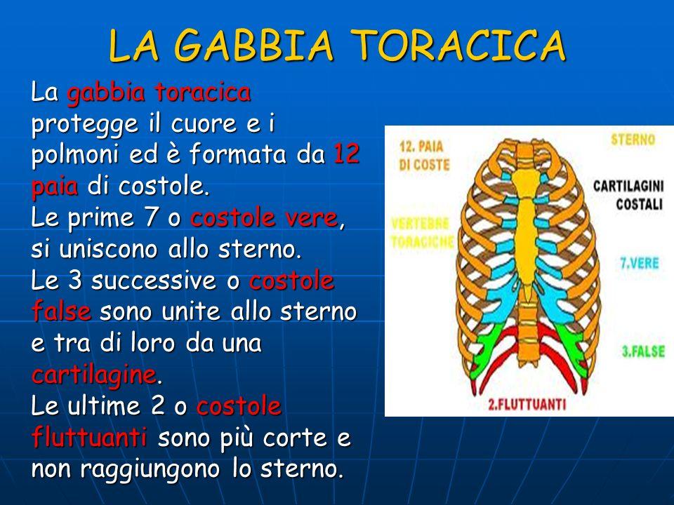 LA GABBIA TORACICA La gabbia toracica protegge il cuore e i polmoni ed è formata da 12 paia di costole. Le prime 7 o costole vere, si uniscono allo st