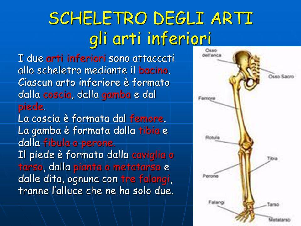 SCHELETRO DEGLI ARTI gli arti inferiori I due arti inferiori sono attaccati allo scheletro mediante il bacino. Ciascun arto inferiore è formato dalla