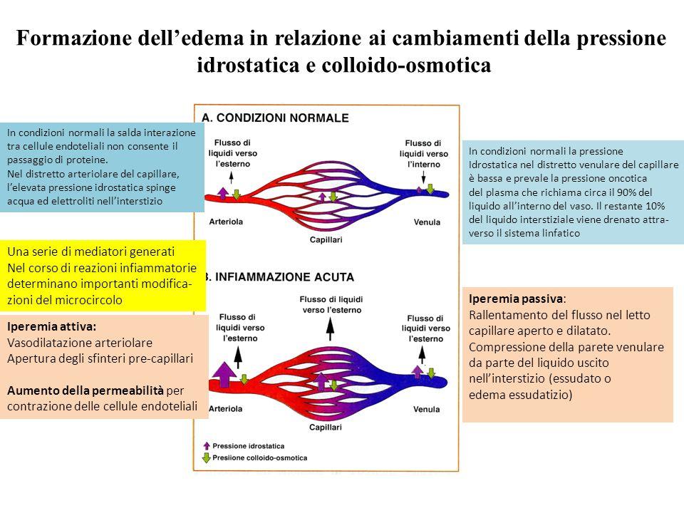 Formazione delledema in relazione ai cambiamenti della pressione idrostatica e colloido-osmotica Iperemia attiva: Vasodilatazione arteriolare Apertura