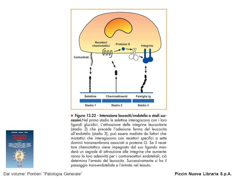 Figura 13.22 - Interazione leucociti/endotelio a stadi successivi. Dal volume: Pontieri Patologia GeneralePiccin Nuova Libraria S.p.A.