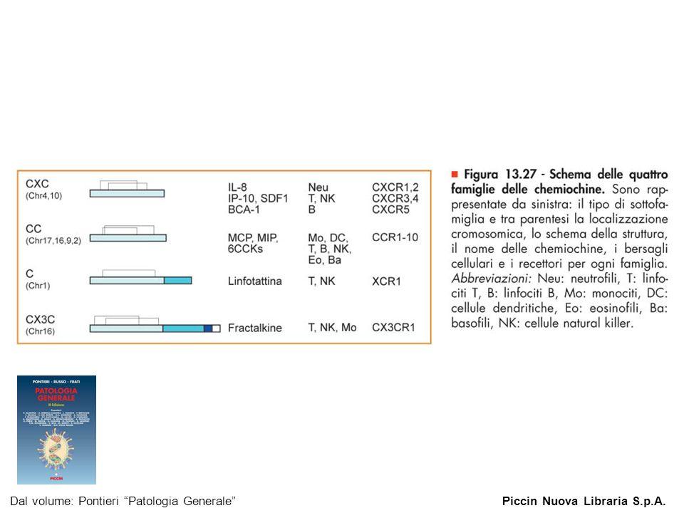 Figura 13.27 - Schema delle quattro famiglie delle chemiochine. Dal volume: Pontieri Patologia GeneralePiccin Nuova Libraria S.p.A.
