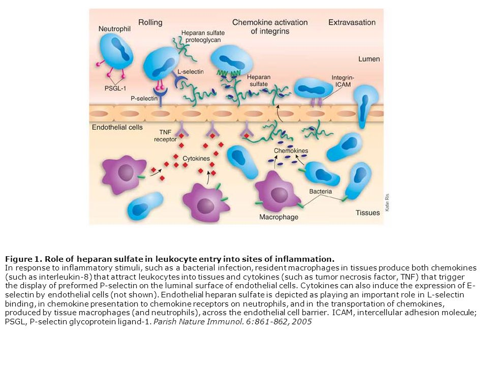 Figure 1. Role of heparan sulfate in leukocyte entry into sites of inflammation. In response to inflammatory stimuli, such as a bacterial infection, r