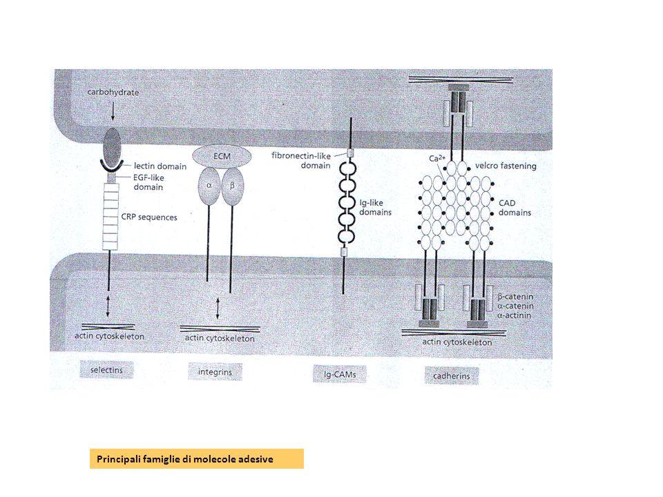 Principali famiglie di molecole adesive