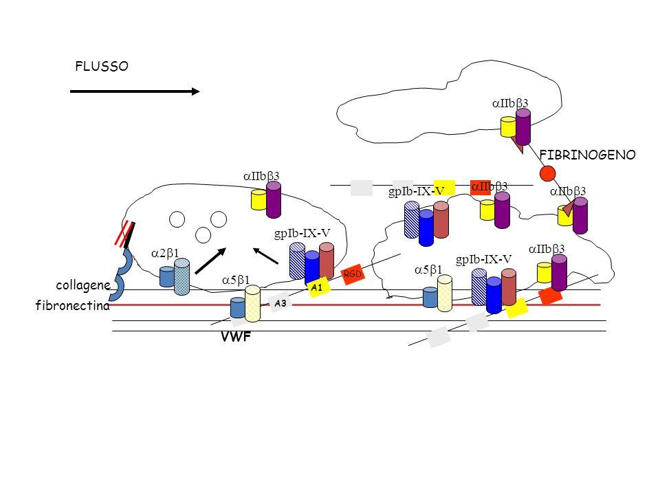 2 1 gpIb-IX-V VWF collagene fibronectina A1 A3 5 1 IIb 3 5 1 RGD gpIb-IX-V IIb 3 gpIb-IX-V IIb 3 FIBRINOGENO FLUSSO