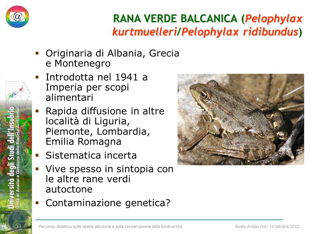 Percorso didattico sulle specie alloctone e sulla conservazione della biodiversità Busto Arsizio (VA) 19 ottobre 2012 RANA VERDE BALCANICA (Pelophylax