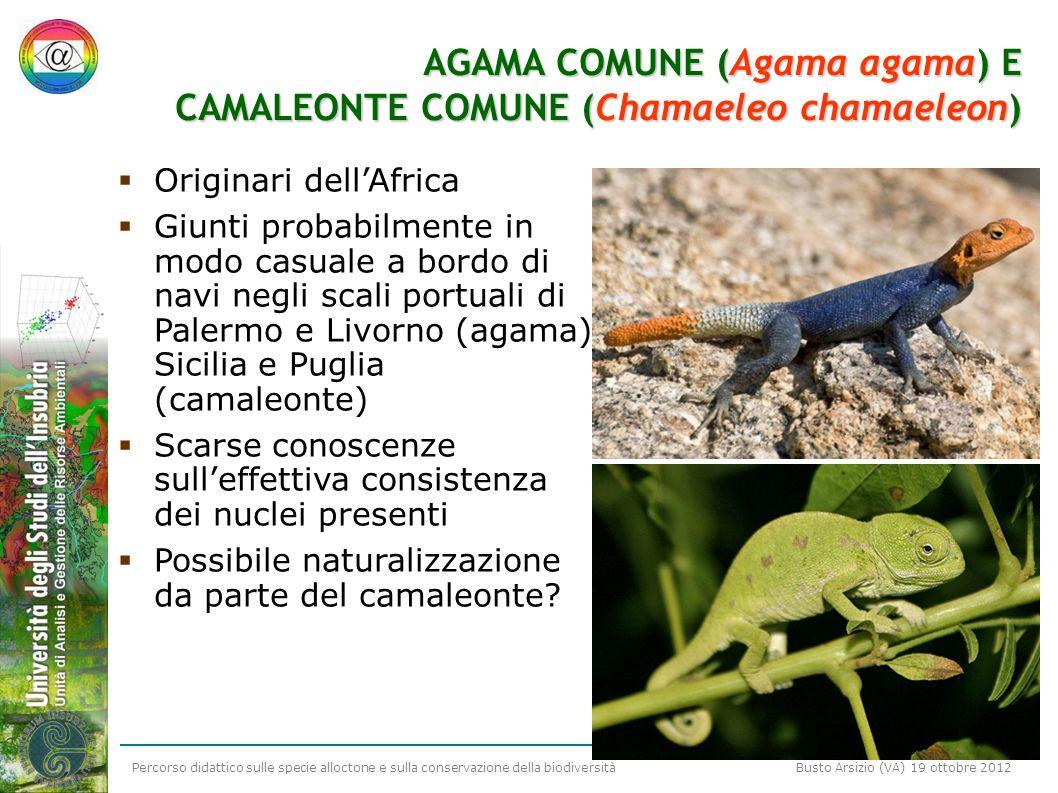 Percorso didattico sulle specie alloctone e sulla conservazione della biodiversità Busto Arsizio (VA) 19 ottobre 2012 AGAMA COMUNE (Agama agama) E CAM