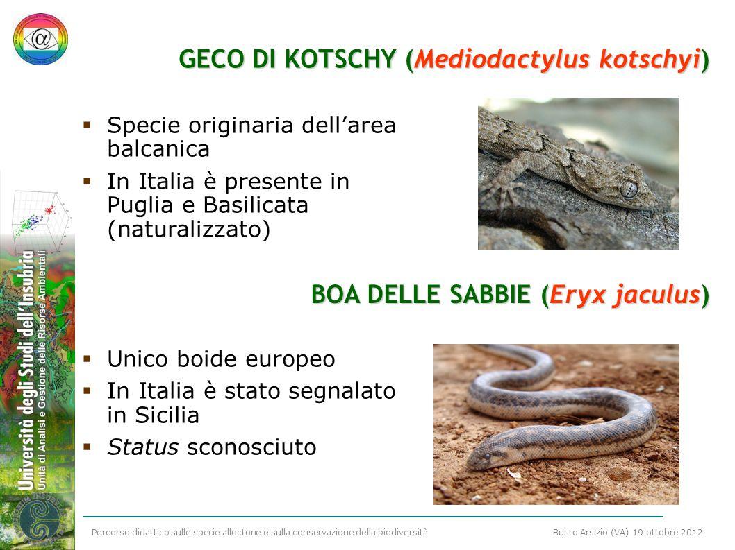 Percorso didattico sulle specie alloctone e sulla conservazione della biodiversità Busto Arsizio (VA) 19 ottobre 2012 GECO DI KOTSCHY (Mediodactylus k