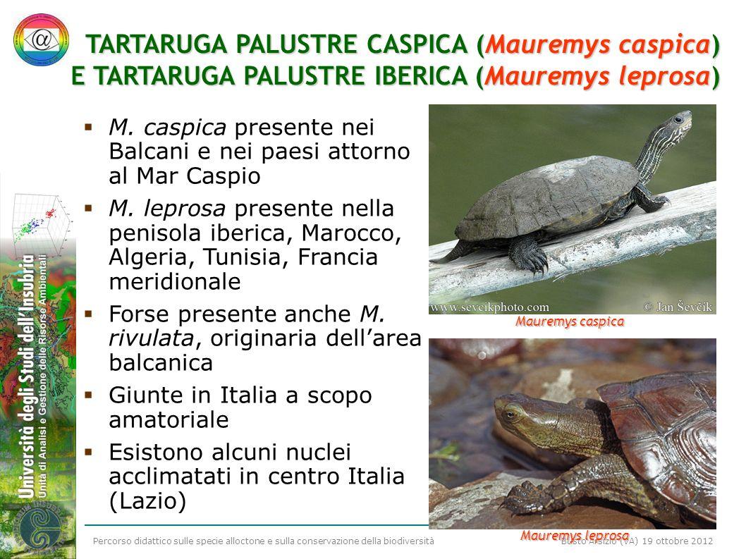 Percorso didattico sulle specie alloctone e sulla conservazione della biodiversità Busto Arsizio (VA) 19 ottobre 2012 TARTARUGA PALUSTRE CASPICA (Maur