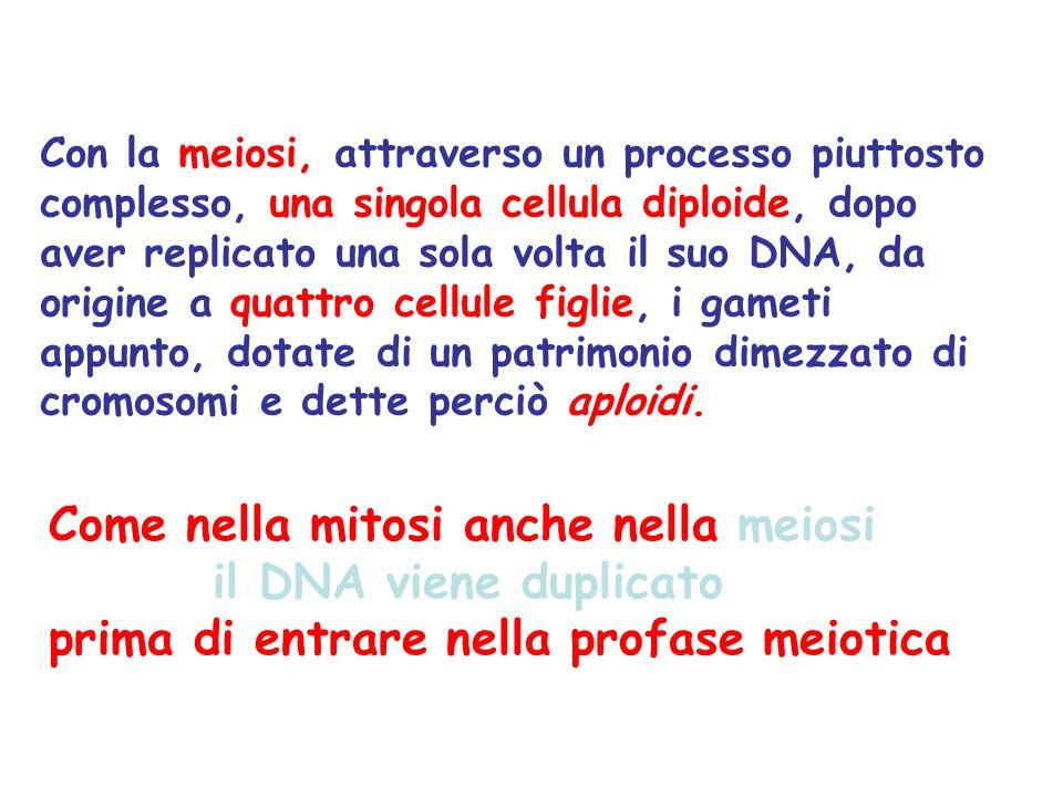 Come nella mitosi anche nella meiosi il DNA viene duplicato prima di entrare nella profase meiotica Con la meiosi, attraverso un processo piuttosto co