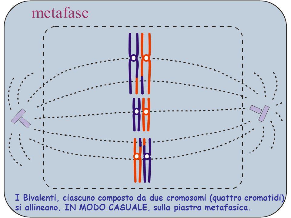 metafase I Bivalenti, ciascuno composto da due cromosomi (quattro cromatidi) si allineano, IN MODO CASUALE, sulla piastra metafasica.