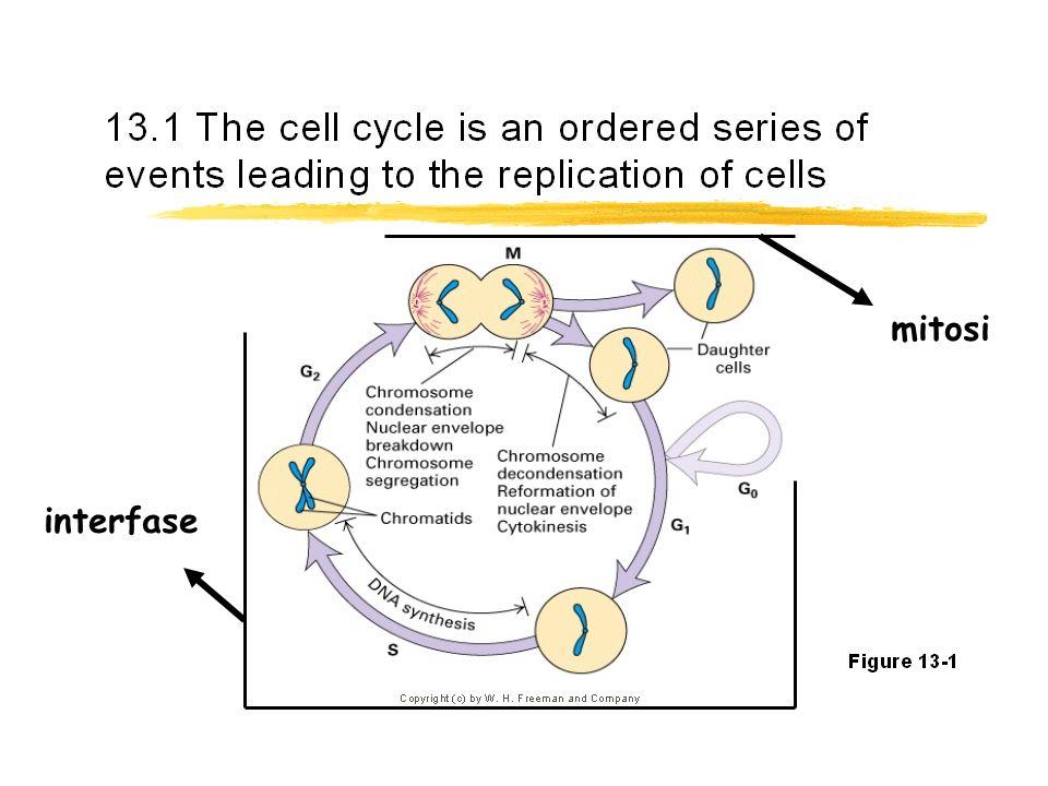interfase mitosi