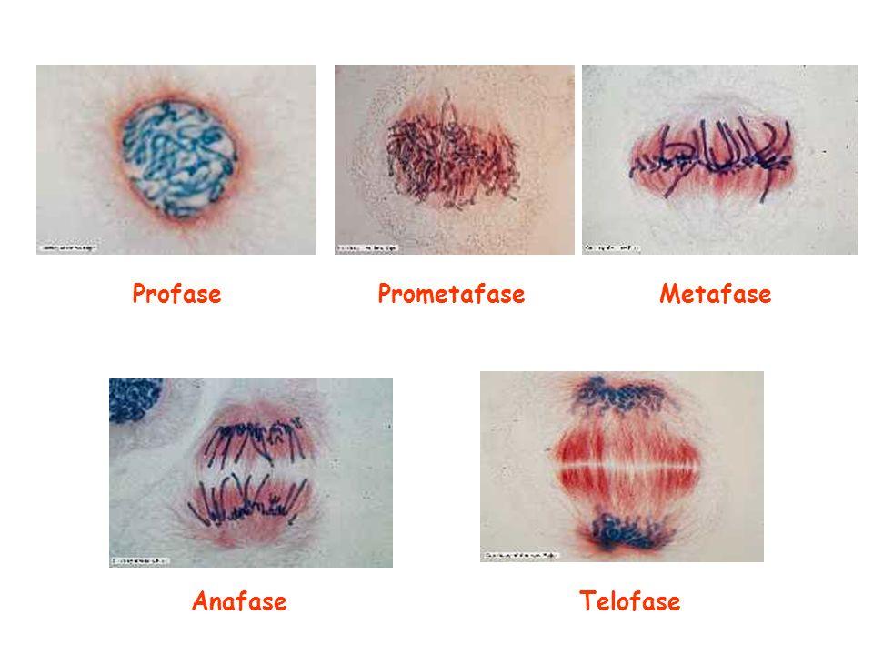 Profase Prometafase Metafase Anafase Telofase