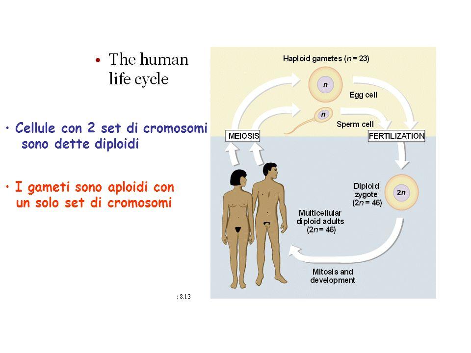 Cellule con 2 set di cromosomi sono dette diploidi I gameti sono aploidi con un solo set di cromosomi