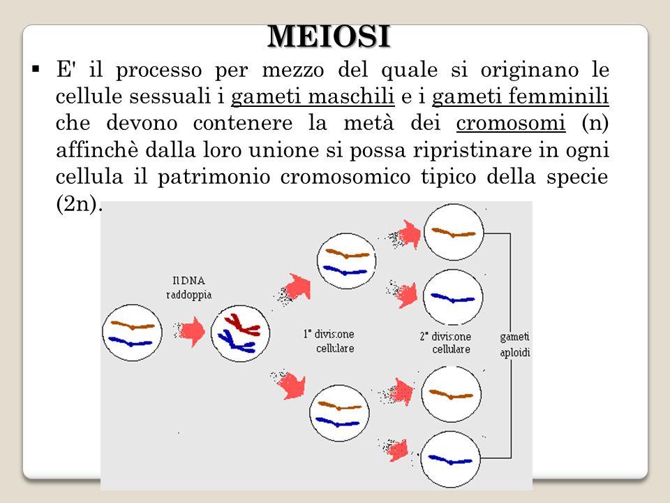 E il processo per mezzo del quale si originano le cellule sessuali i gameti maschili e i gameti femminili che devono contenere la metà dei cromosomi (n) affinchè dalla loro unione si possa ripristinare in ogni cellula il patrimonio cromosomico tipico della specie (2n).