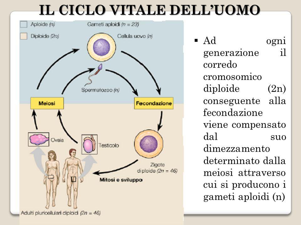 Ad ogni generazione il corredo cromosomico diploide (2n) conseguente alla fecondazione viene compensato dal suo dimezzamento determinato dalla meiosi attraverso cui si producono i gameti aploidi (n) IL CICLO VITALE DELLUOMO