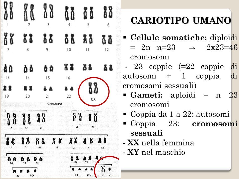 CARIOTIPO UMANO Cellule somatiche: diploidi = 2n n=23 2x23=46 cromosomi - 23 coppie (=22 coppie di autosomi + 1 coppia di cromosomi sessuali) Gameti: aploidi = n 23 cromosomi Coppia da 1 a 22: autosomi Coppia 23: cromosomi sessuali - XX nella femmina - XY nel maschio