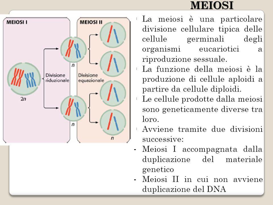 La meiosi è una particolare divisione cellulare tipica delle cellule germinali degli organismi eucariotici a riproduzione sessuale.